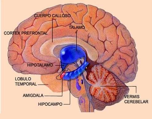 Cervello limbico